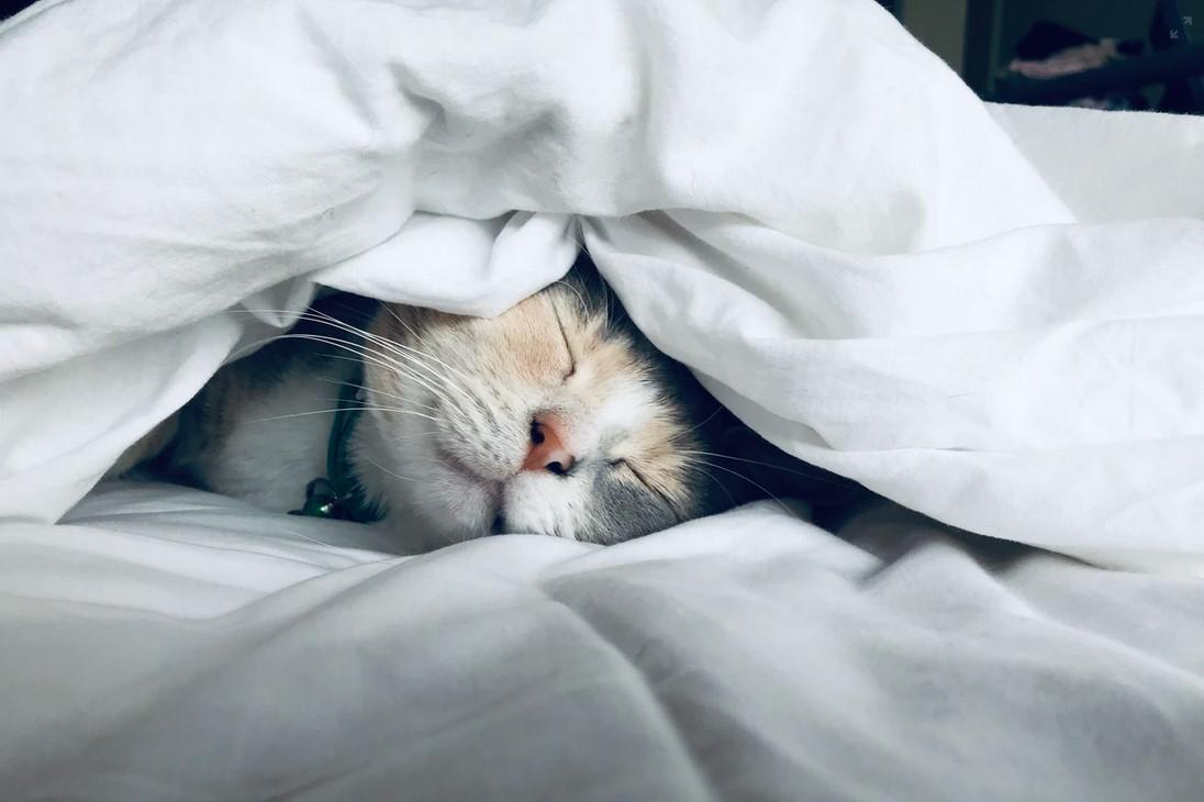 Cat on the bed under a blanket