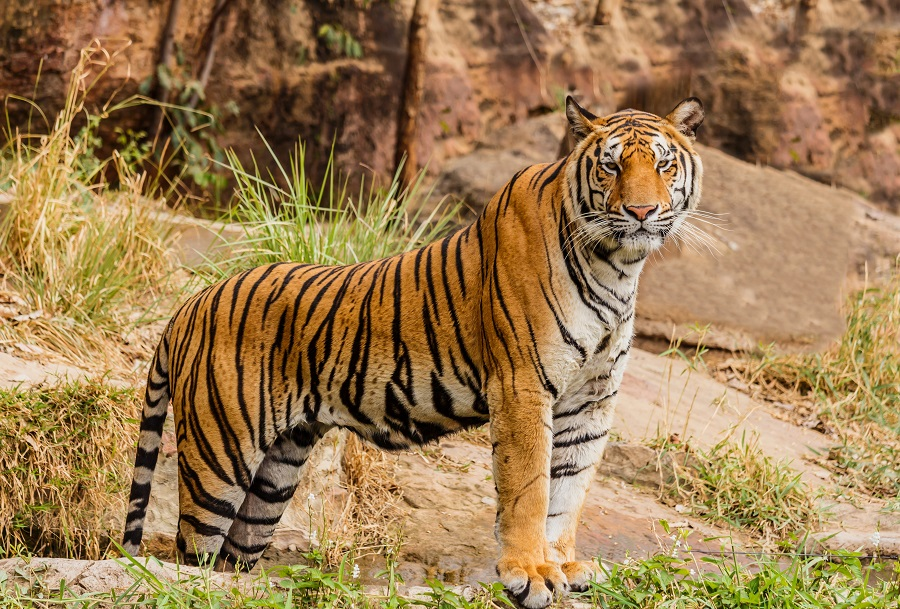 Tiger standing on rocks